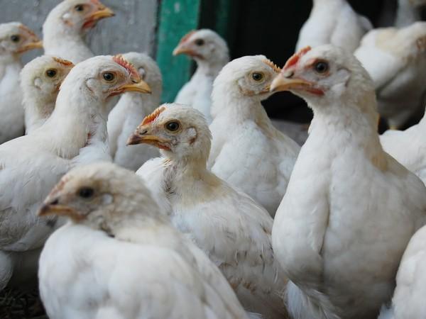 Башкирия вошла впятёрку наилучших регионов попроизводству мяса птицы