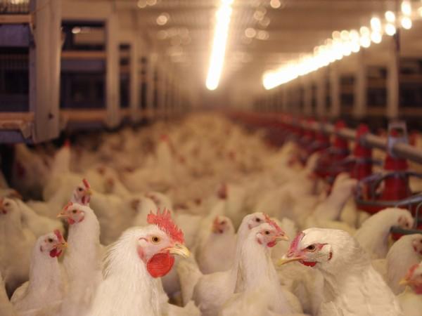 Найдено 12 тонн мяса индейки, зараженного птичьим гриппом