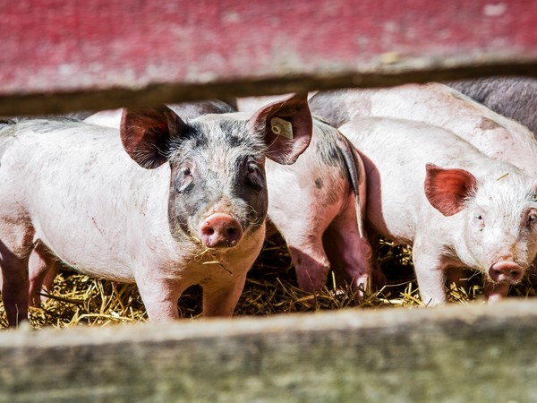 ВПсковской области введен карантин из-за африканской чумы свиней