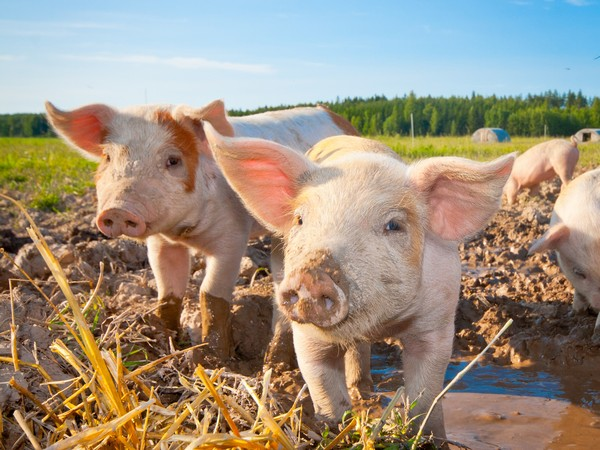 Вспышку африканской чумы свиней локализовали вВачском районе