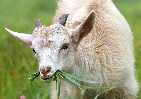 Ферму на3 тысячи коз планируется открыть вКовернинском районе Нижегородской области