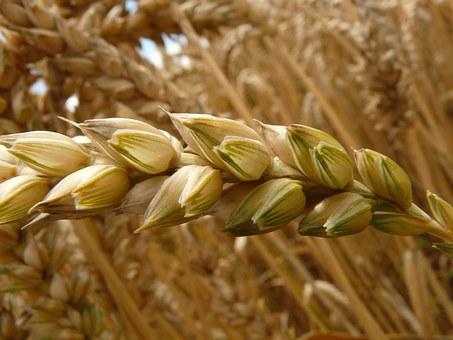 РФна4сентября собрала практически 100 млн тонн зерна— Минсельхоз
