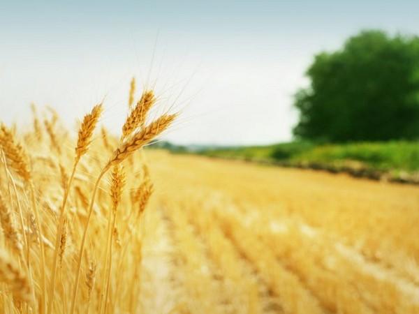 ВУльяновской области заканчивается уборка зерновых культур