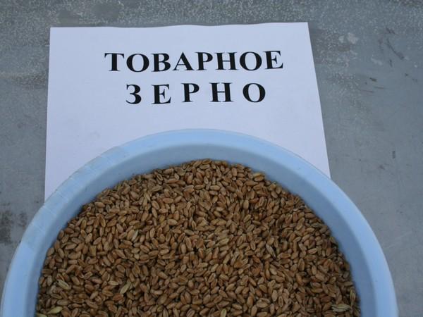 Губернатор Алтайского края обратился вМинсельхоз спросьбой запустить механизм зерновых интервенций