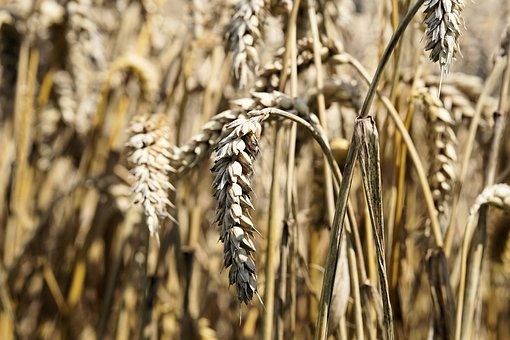 Украинские аграрии уже собрали практически 54 млн тонн зерновых