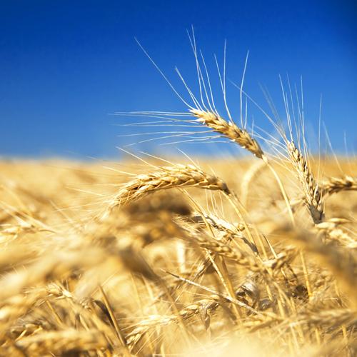 Росстат: Валовой сбор русского зерна в этом 2017г возрос на11%