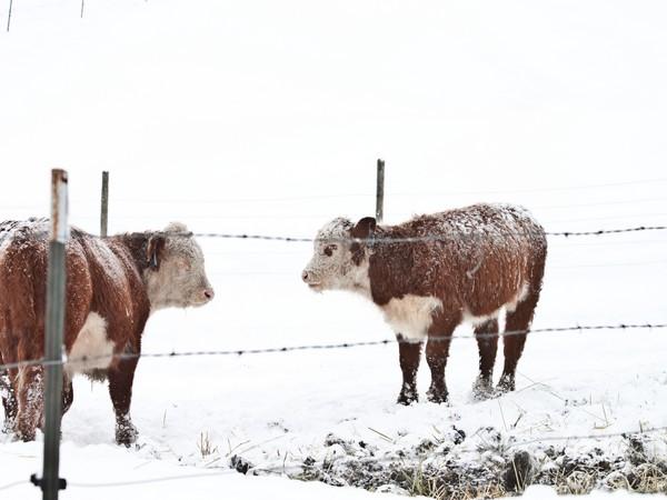 2017 году вРязанской области производство мяса увеличено на5,2%.