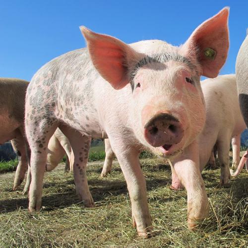 ВОмскую область может вернуться чума свиней